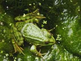 nature lake green frog
